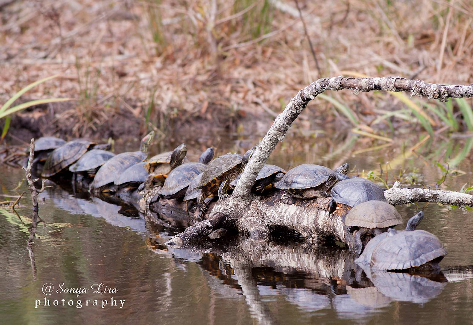 Les tortues dans un étang