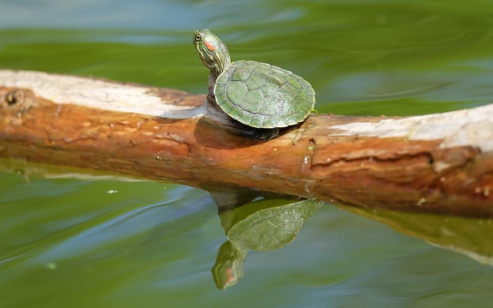 Le trachemys scripta elegans ou la tortue de Floride